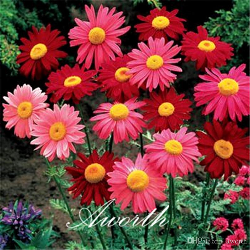 fd6b6d907e 2019 Pyrethrum Flower Mixed Color 50 Seeds Chrysanthemum Coccineum Painted  Daisy DIY Home Garden Bonsai Landscape Container Flower From Aworth, ...