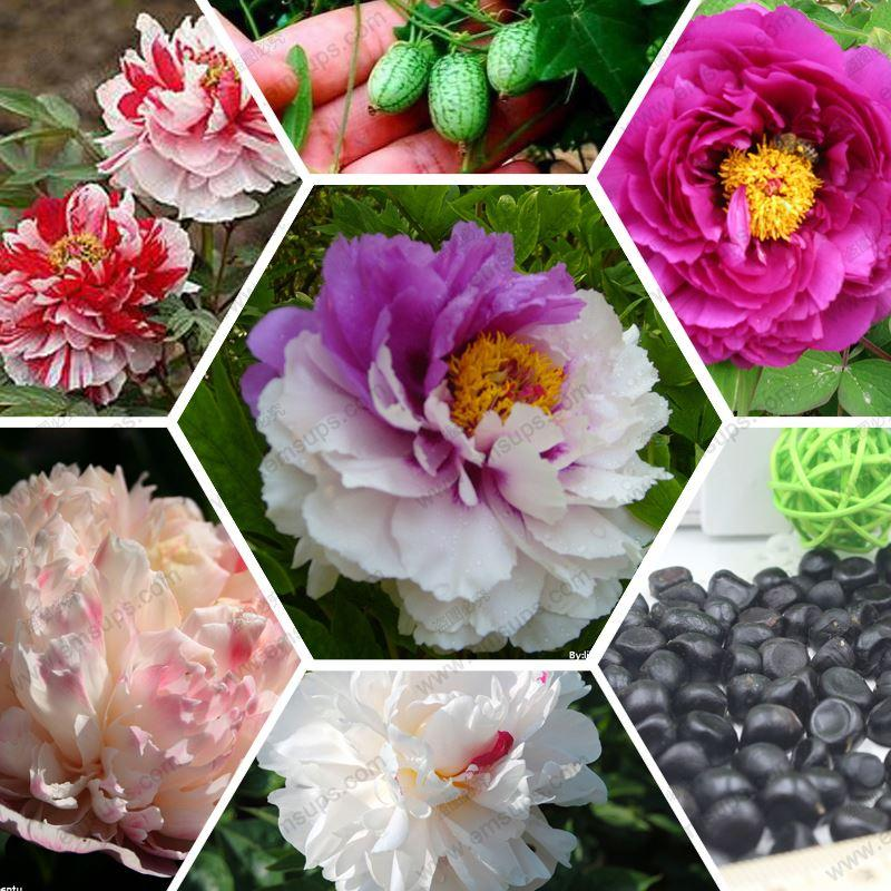 Peony seeds rare black peony flower seed bonsai home garden decoration 100% real seeds 20 pcs / bag