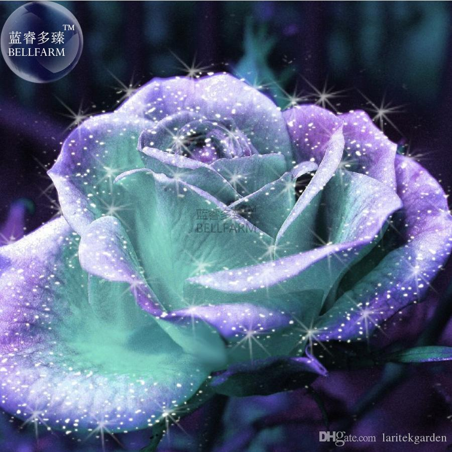Bellfarm rare light blue and purple japanese rose flower seeds bellfarm rare light blue and purple japanese rose flower seeds professional pack 20 seedslight fragrant rare flowers e3546 rose seeds rare flowers rose izmirmasajfo