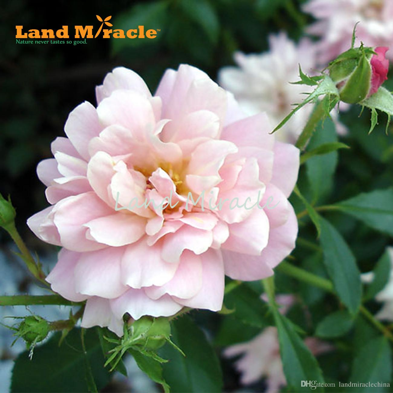 100 Seeds/pack, Home Garden Flower Seed Light Purple and White Exquisite Blooming * DH Rose Seeds*, New Rose Seeds Land Miracle