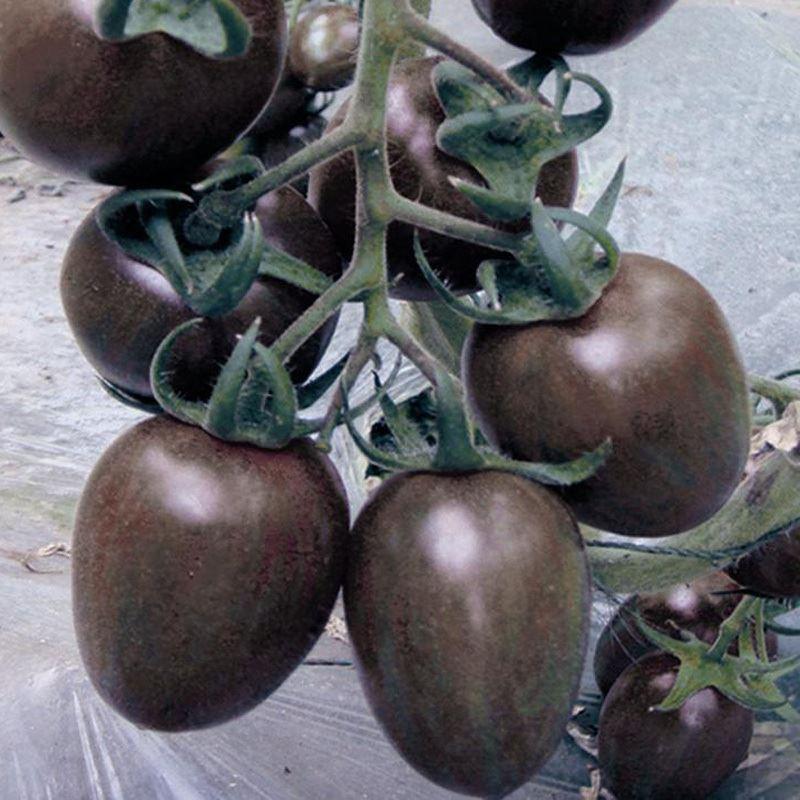 7b3668ecc85e9 Acheter Un Paquet Noir Cerise Tomates Graine Balcon Fruits Bonsaï En Pot  Accueil Tomate Plante Graines Fruits Légumes De $5.03 Du Lijiao   DHgate.Com