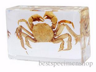 Mer Crabe Specimens résine acrylique intégré véritable mer animaux LearningEducation Jouets Souris Transparent Paperweight Enfants Nouveau design Kits scientifiques