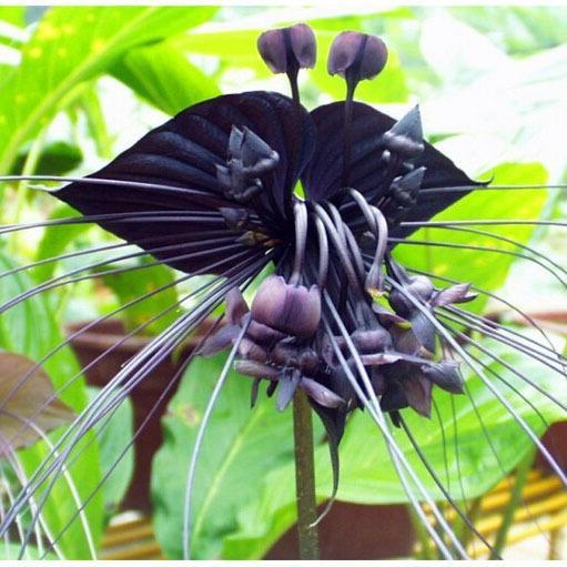 Acheter VENTE CHAUDE / Sac Noir Tigre Orchidée Fleurs Graines Rare ...