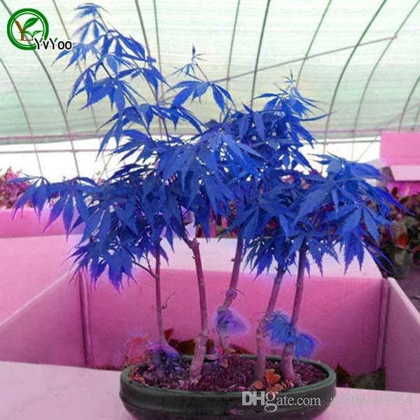 Bonsai-Baum-Ahorn-Pflanzensamen 100% true Samen-Saatgut-Schießen Hausgartenpflanze 20 Partikel / Tasche