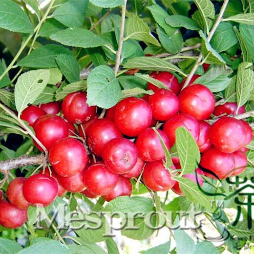 Variedades do sul de ameixa em vasos de fruta por atacado semente da ameixa da fruta amadurecendo três Chinês Li Zaiji para dirigir 10 Sementes / Pack