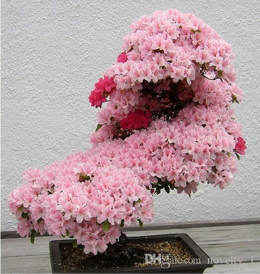 Japanische Kirschblüte-Samen des Bonsai-Baums. Seltene japanische Kirschblüten blühen Samen in Bonsai, rosa Prunus Serrulata15 Samen / Pack