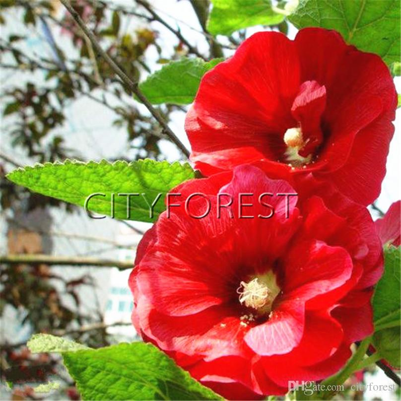 2019 Double Flower Red Hollyhock 100 Seeds Easy To Grow From Seeds