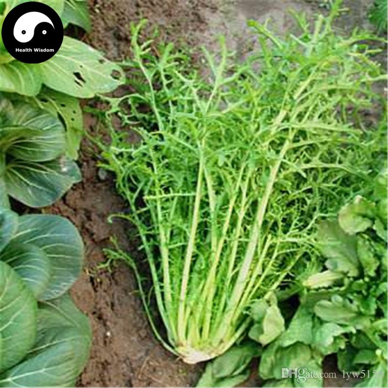 Grosshandel Kaufen Brassica Juncea Samen Pflanze Blatt Gemuse Wachsen