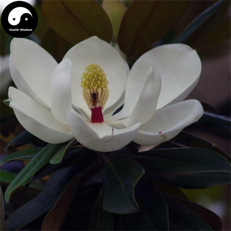 Großhandel Kaufen Real Magnolia Grandiflora Baum Samen Pflanze Weiß ...
