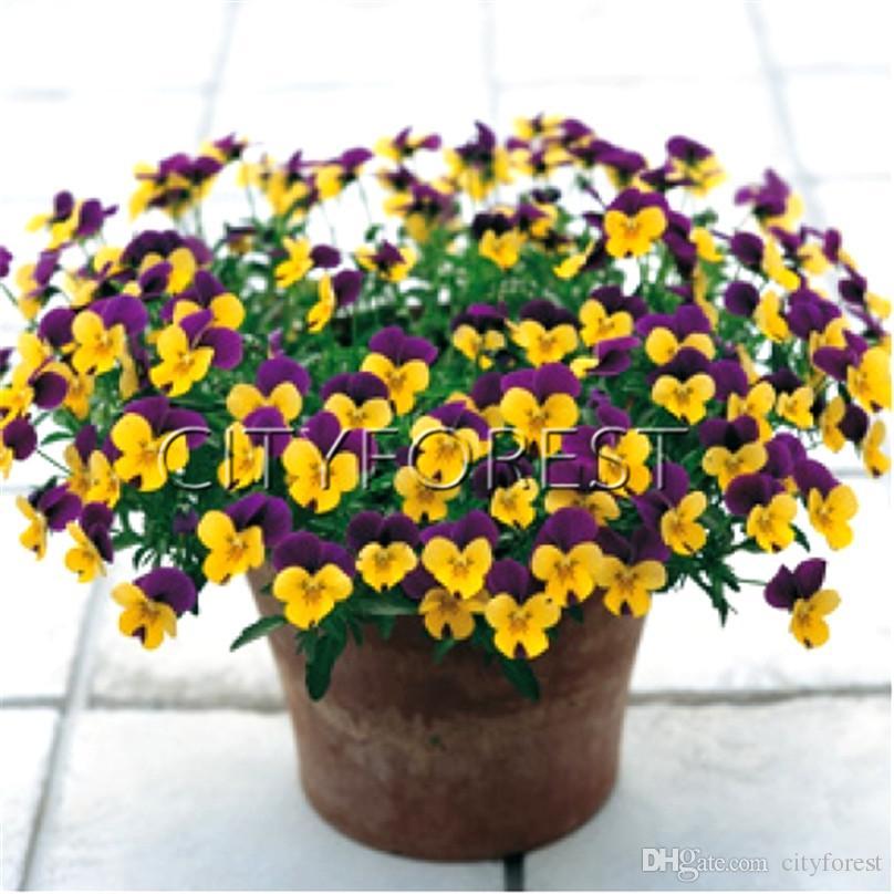 Flower Bed Maintenance Cost: 2020 Viola Cornuta Mixed Color Horned Violet Flower Seeds
