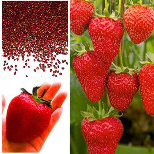Atemberaubend Großhandel 100 Samen / Pack Riesen Rote Erdbeere Samen, Garten #RI_88