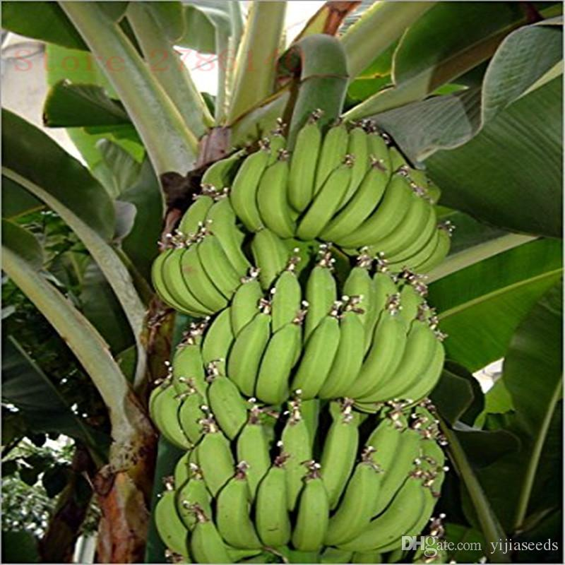 Banana Seeds,dwarf fruit trees,Milk Taste,Outdoor Perennial Fruit Seeds For Garden plants