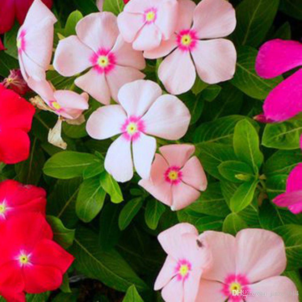2018 Flower Seeds Madagascar Periwinkle Vinca Rosea Perennials 20