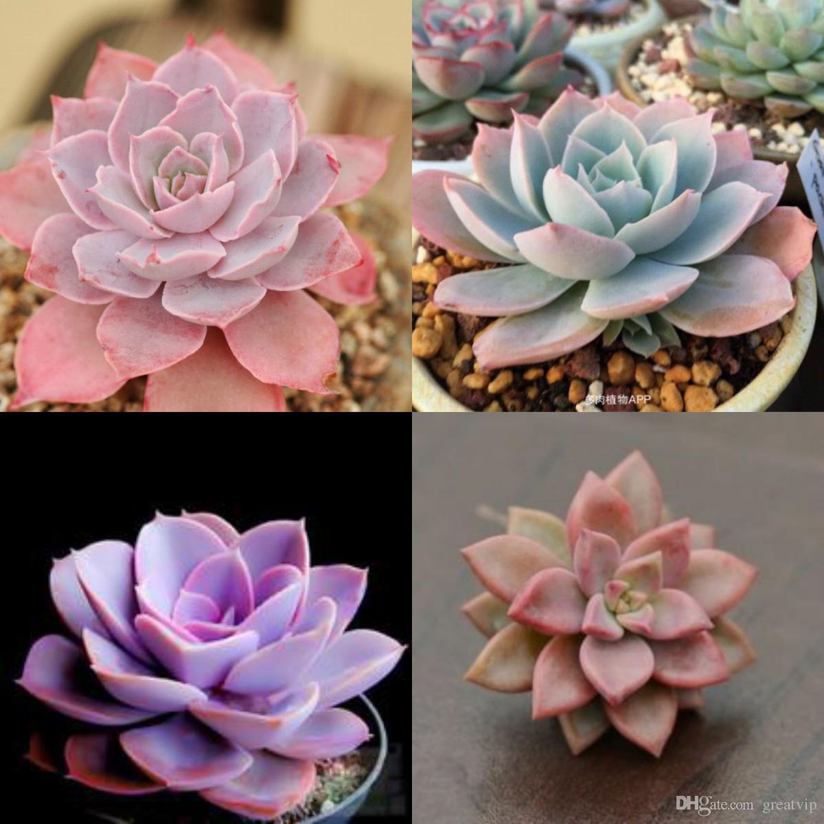 Compre Plantas Suculentas Semillas De Flores Barato Lucky Pink