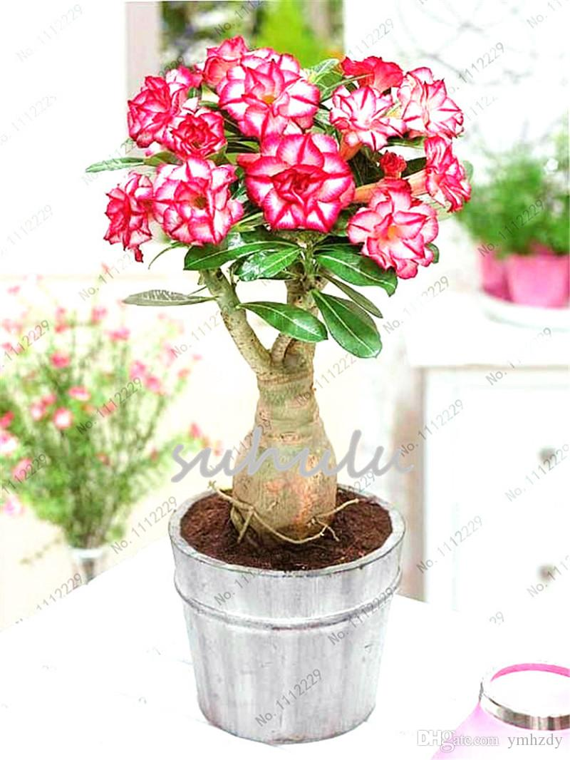 2019 100 True Pink Desert Rose Seeds Ornamental Plants Balcony