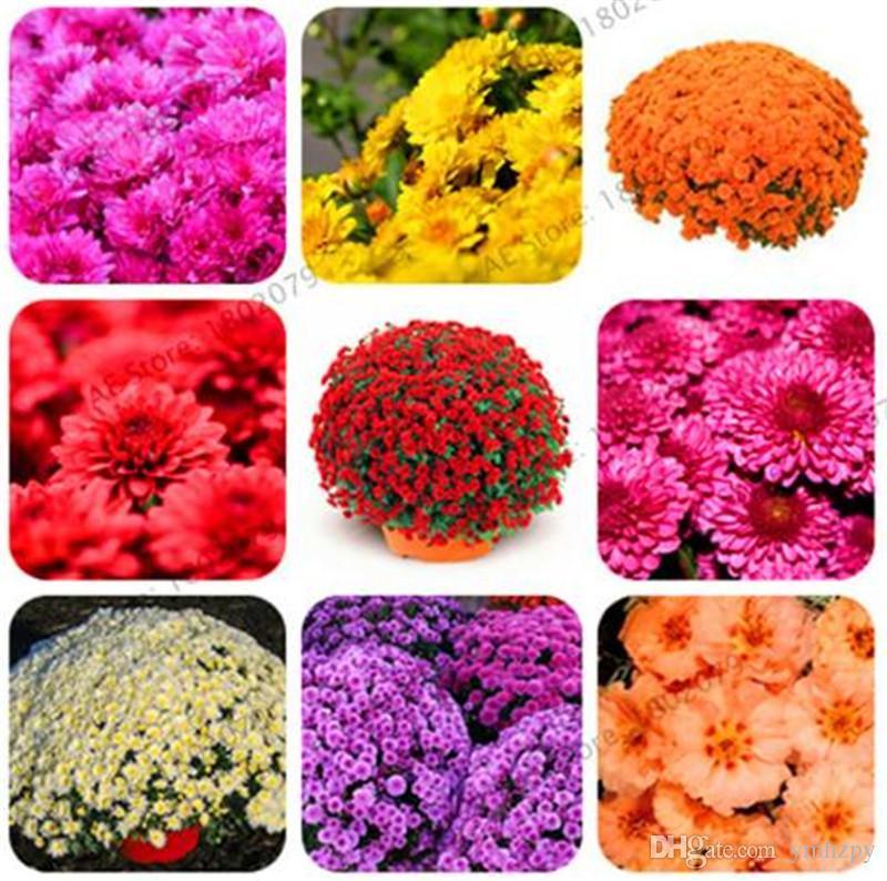 20 Pcs//Sac Rares Arc Chrysanthemum Chrysanthemum Graines Bonsaï Graines