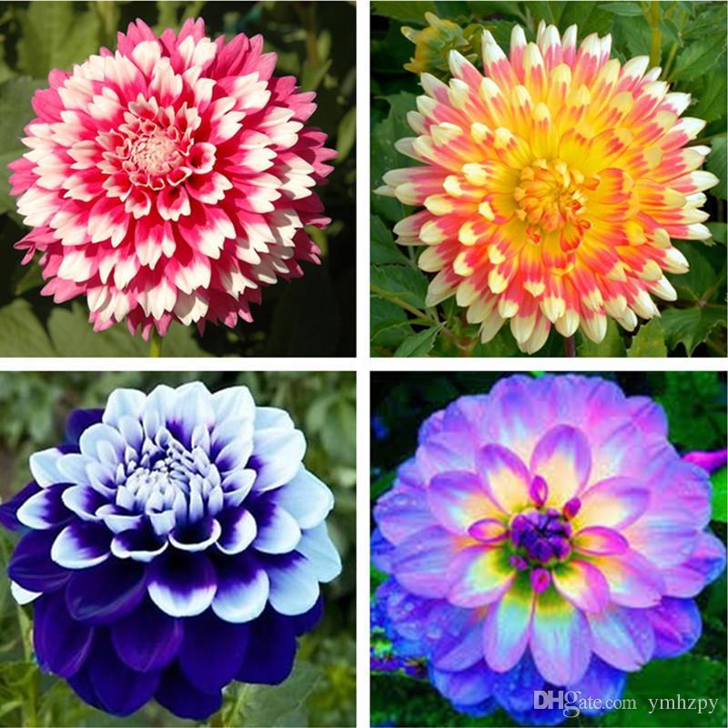 Compre 100 Pçs Saco Dahlia Flor Dahlia Sementes De Sementes De