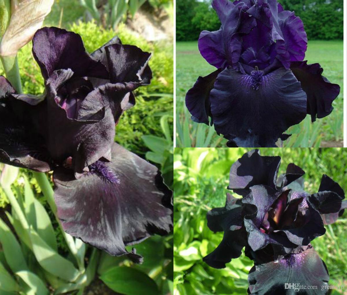 Iris Orchid Seeds Heirloom Tectorum Perennial Flower Seeds Yard