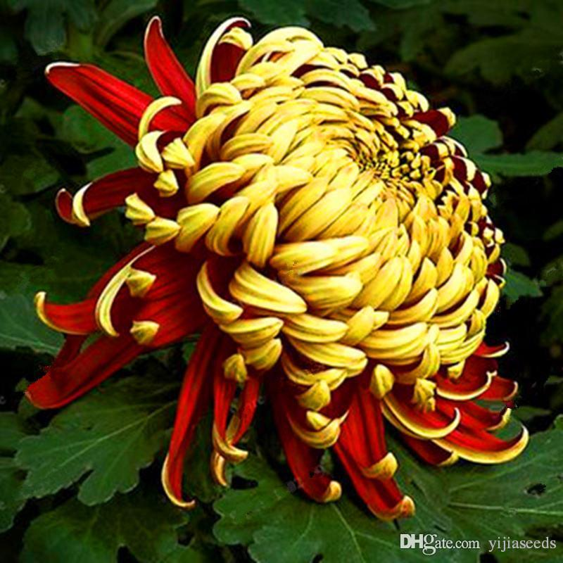 Chinese mum Seeds Rare Perennial Flower Seeds Indoor Bonsai Plants Chrysanthemum plant For Home & Garden mixed color /bag
