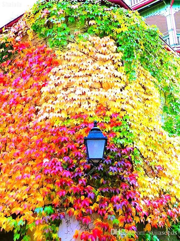 /bag Boston Ivy seeds outdoor creepers Bonsai plants flower seeds grass seeds Air Purification garden decoration plant
