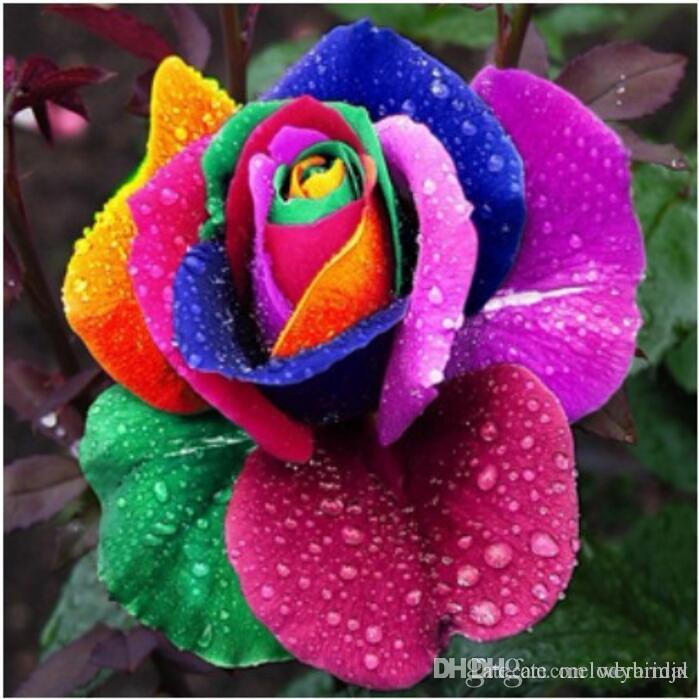 Cheap Multicolor Rose Seeds Blue Bans Rainbow Rose Seeds *100 Seeds ...