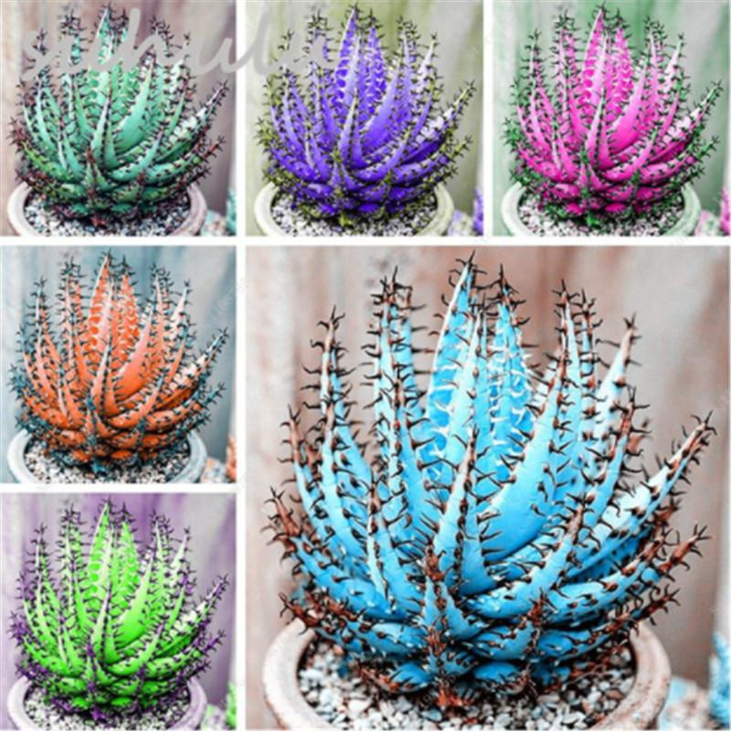 50 Seeds/bag Colorful Cactus Aloe Seed Mix Exotic Flower Cacti,Succulent  Aloe Vera Seed Use Beauty Edible Cosmetic Herb Mini Bonsai Office