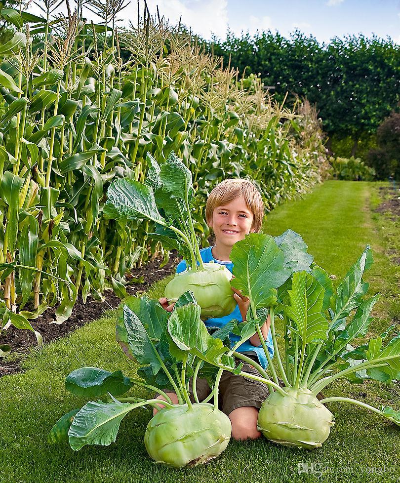 Os Países Baixos importados Legumes sementes de couve-rábano sementes de hortaliças verdes Frete Grátis