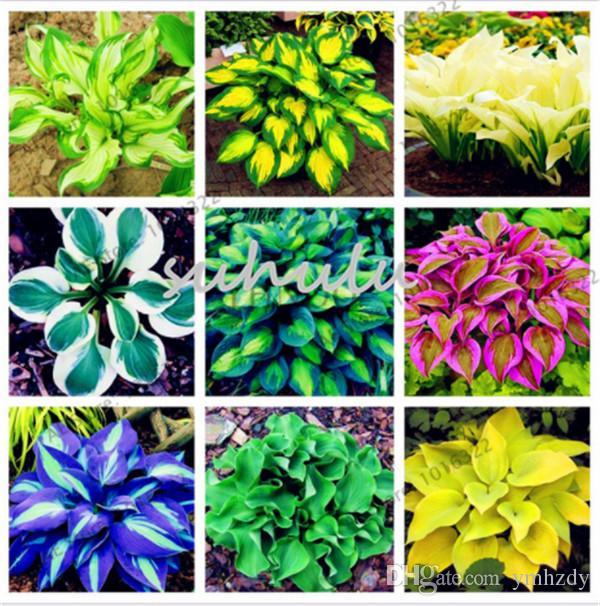 Online cheap bag hosta plants seeds perennial plantain lily flower online cheap bag hosta plants seeds perennial plantain lily flower ground cover flower seedsprecious hosta seeds home garden plant by ymhzdy dhgate mightylinksfo