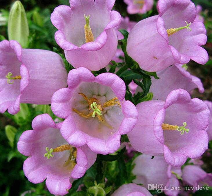 Campanula Mekongensis Flower Seeds Peach Leaved Bellflower Mix 100 Seeds Per Package Plant Seed Free Shipping Beautiful Garden Decorations