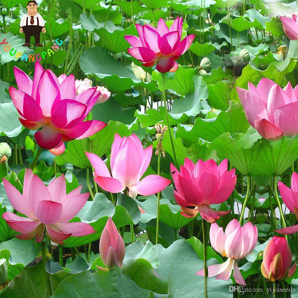 10 adet / torba lotus çiçeği lotus tohumları Sucul bitkiler kase lotus su zambak tohumları Çok Yıllık Bitki ev bahçe için