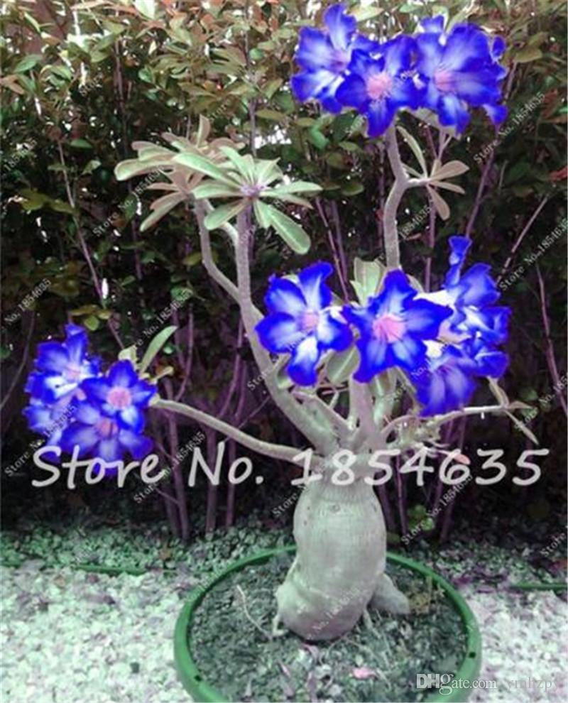 2 Pcs Desert Rose Seeds Balcony Bonsai Ornamental Flowers Adenium Obesum  Seeds Absorption of Formaldehyde Flower Seeds for Sale