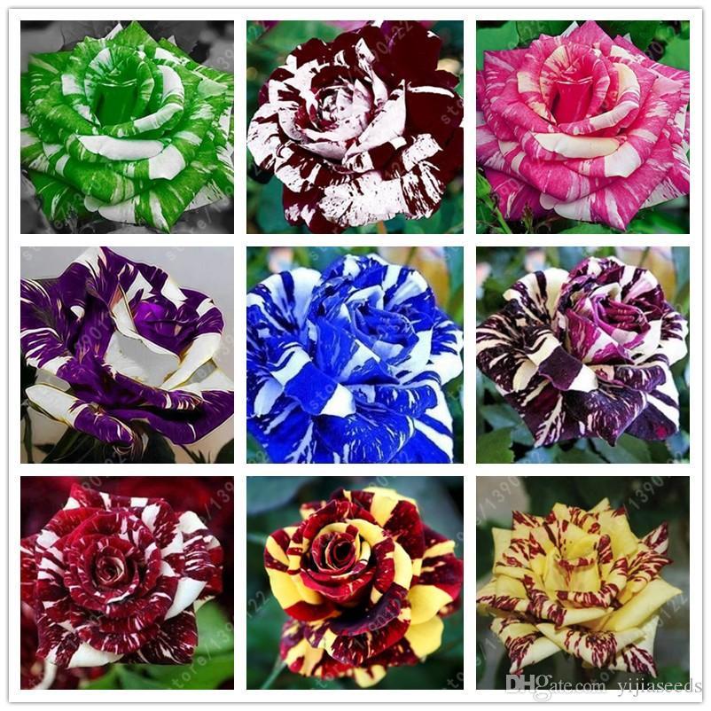 100 pz / borsa semi di rosa tigre a strisce rosa rare bonsai semi di fiori arcobaleno verde blu nero petali di rosa pianta la casa giardino