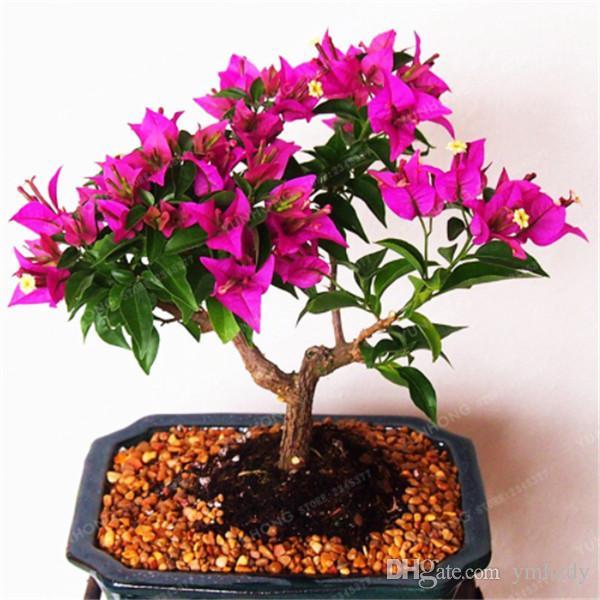 Hot Coloré Bougainvillier Graines Spectabilis Willd Graines Vivace Fleur Bonsaï Pot Plantes Beauté Votre Jardin
