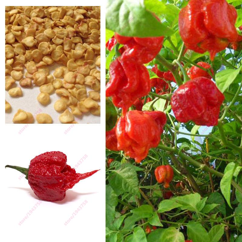 100pcs Carolina Reaper Pepper seeds- Capsicum Chinense - The worlds HOTTEST Chilli Pepper seeds - Bonsai Vegetable Seeds - Extre
