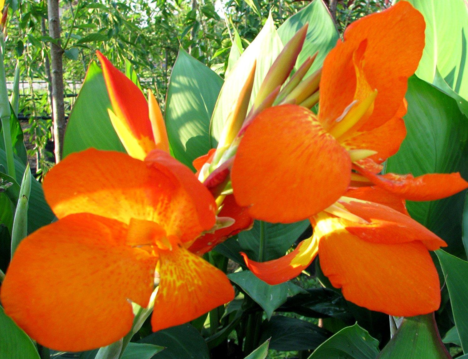 2018 Beautiful Orange Punch Flowering Canna Lily Fresh Top Size
