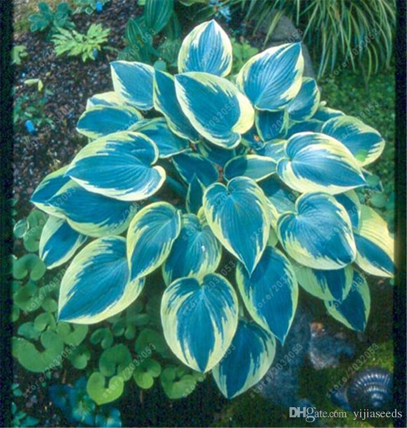 30 teile / beutel hosta pflanzen samen, mehrjährige Plantain Lilie Blume Bodendecker blumensamen, kostbare hosta samen hausgarten anlage