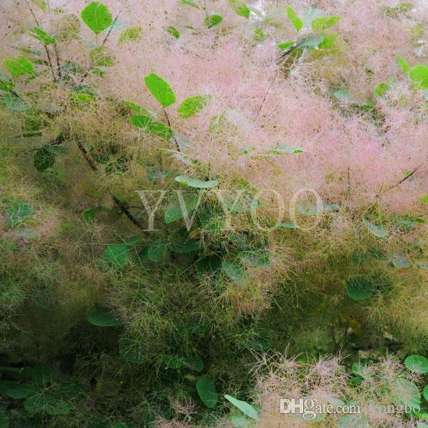 Cotinus Coggygria Graines Plante Ornementale Fumée Bush Arbuste Graines, Paysage Design Fumée Arbre Graines Livraison Gratuite B63