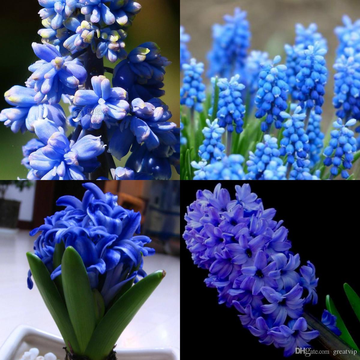 Acheter Bleu Jacinthe Fleur Graines Belle Propice Graine Grande