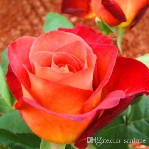 Ücretsiz Kargo Kırmızı Ve Mor Gül Tohumları Paket Başına 30 Parça Tohumları * Yeni Varış Ombre Büyüleyici Bahçe Bitkileri