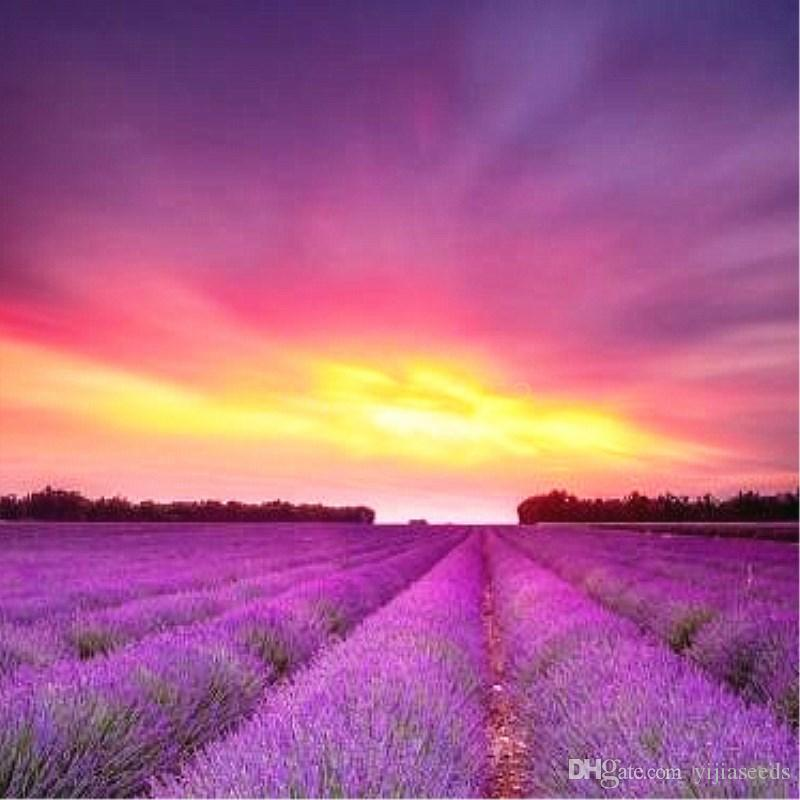 Provence Lavender seeds purple Lavandula vanilla seeds fragrant organic lavender seeds plant flower Home Garden Bonsai /bag