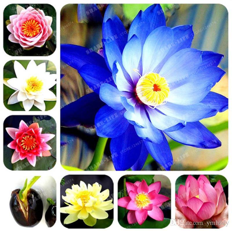 2019 Mixed Lotus Flower Lotus Seeds Aquatic Plants Bowl Lotus Water