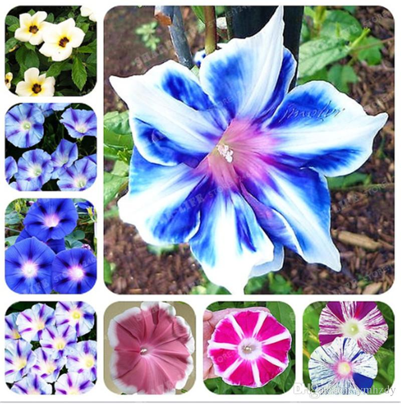 50 Pcs/Bag Picotee Morning Glory Seeds Rare Petunia Bonsai Flower Plant For Home Garden Easy To Grow So Beautiful & Fragrant