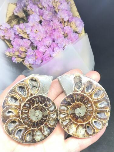 Livre do porte postal !!! Espécime fóssil marroquino do caracol. Pode ser usado como um ornamento ou para afastar espírito maus.