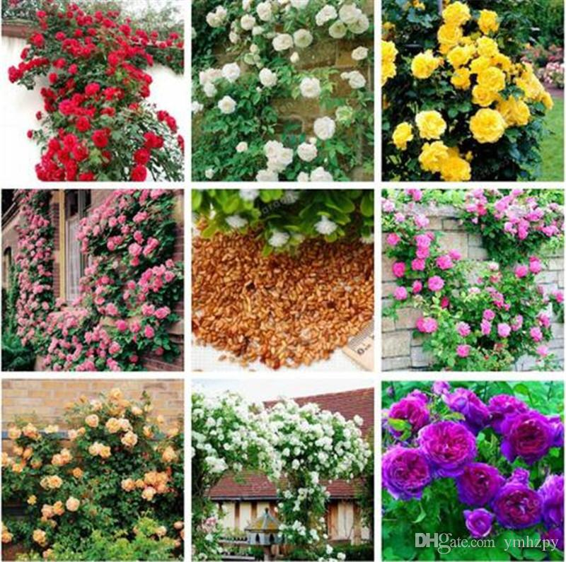 2019 Mixed Climbing Rose Seed Perennial Pink Red White Yellow Roses