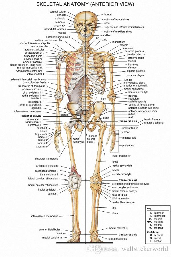 Satın Al Insan Vücudu Iskelet Sistemi Tıbbi Anatomik Grafik Posteri