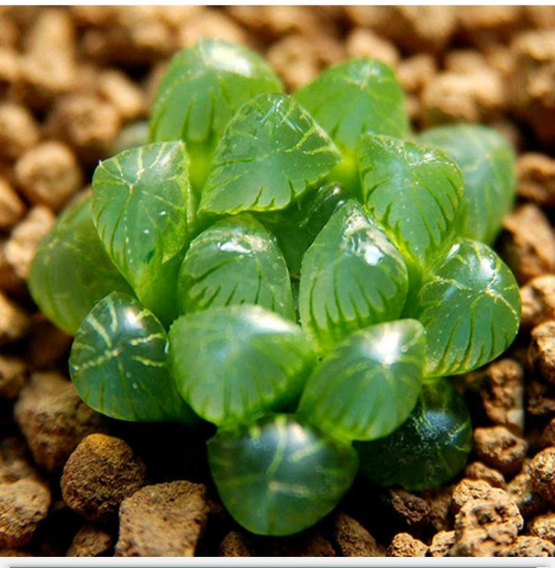 50 pçs / saco Yulu sementes suculentas bela Lotus Lithops Pseudotruncatella pote flor Extremamente carnuda bonsai planta de jardim