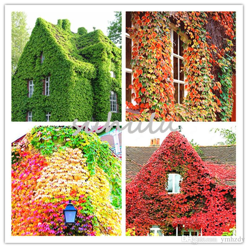 2018 Colorful Ivy Seeds Outdoor Creepers Green Boston Ivy Seeds Drop  Shipping Parthenocissus Tricuspidata Seed For Home Garden Decor From  Ymhzdy, ...