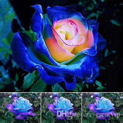 Rare Blue Pink Roses Flower Seeds Yard Garden Bonsai Decoration Beautiful Exotic Balcony Potted Roses Garden Plant 100 Seeds Per Package