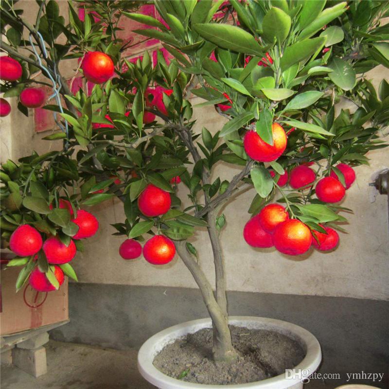 Grosshandel 50 Stucke Red Lemon Seeds Neue Ankunft Drawf Baum Bonsai