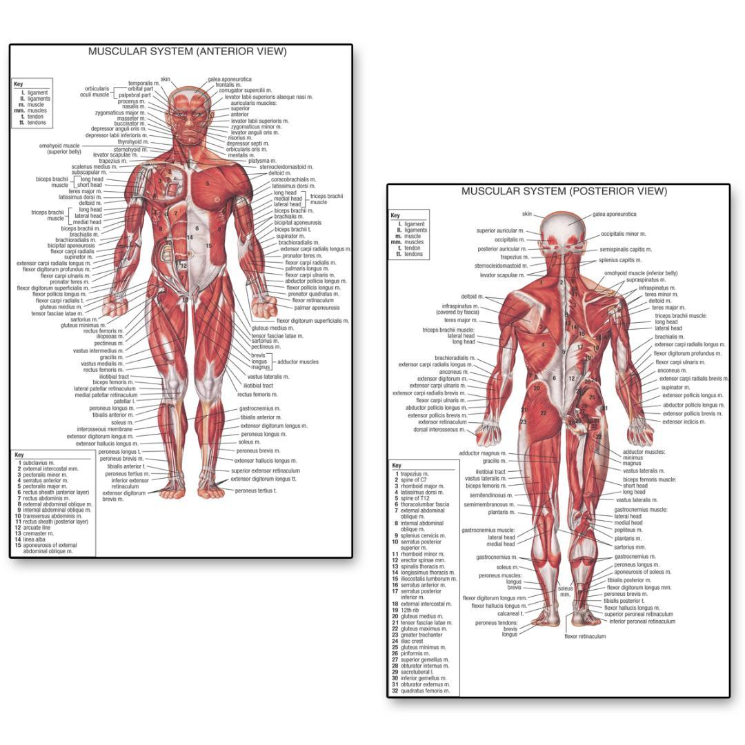 2019 Human Anatomy Posterior Anterior View Anatomy Muscles System